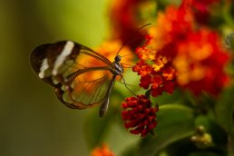 Glasswing Butterfly (Greta oto) with red flowers in Monte Verde, Costa Rica - photo by Tampa, Florida based photographer Carver Mostardi.
